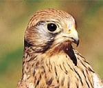 Turmfalke - Greifvogel