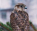 Merlin - Falkenart auf Greifvogelwarte Landskron bei Villach