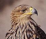 Greifvögel - Adler
