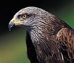 Greifvogel schwarzer Milan