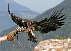 Der Europäische Seeadler Ikarus im Landeanflug.