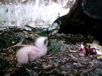 Steinadler mit Küken aus Nachzucht Adlerwarte Kärnten