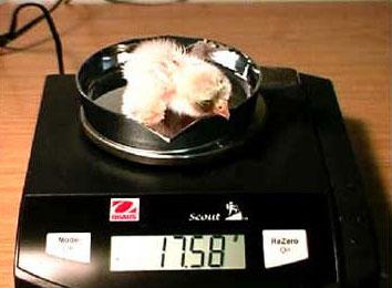 Falken-Küken bei Gewichtskontrolle