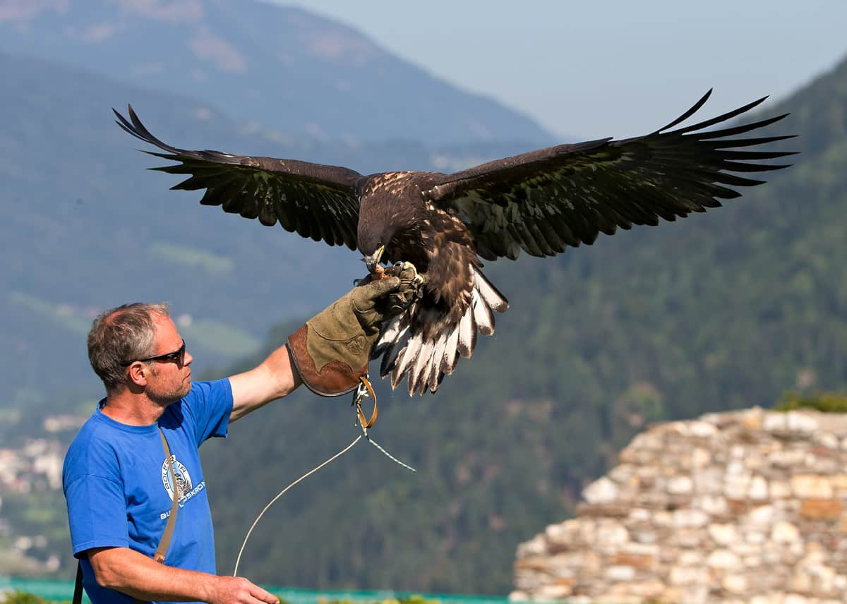 Franz Schüttelkopf with Ikarus the European sea eagle © Adler Arena Burg Landskron