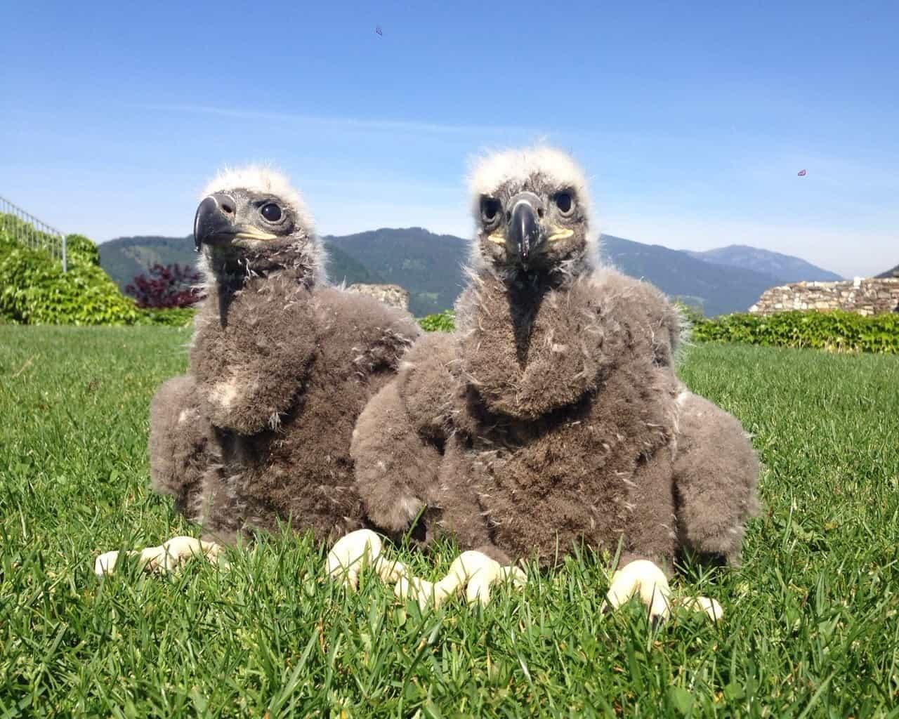 Die beiden Seeadler Arielle und Heinrich wurden Eltern von zwei männlichen Küken. © Adlerarena