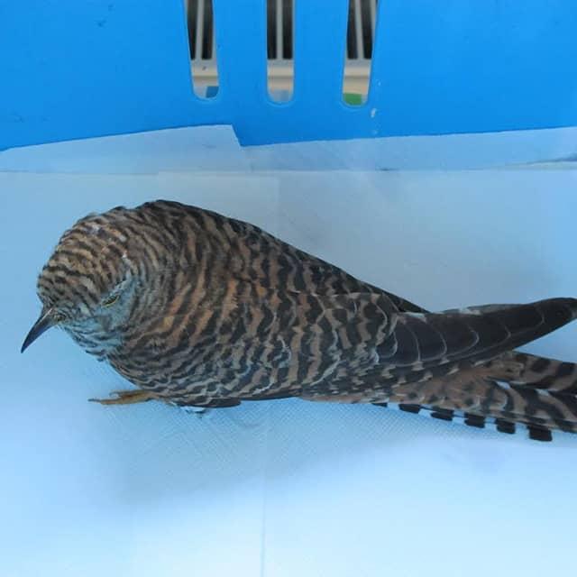 Ein Kuckuck, der in eine Glasscheibe geflogen ist, wurde in unserer Pflegestation so lange gepflegt, bis er wieder fit für die Freiheit war.