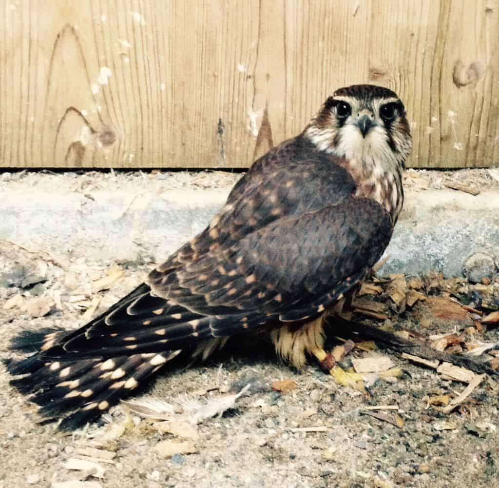 BU: Der Merlin ist ein Greifvogel aus der Familie der Falkenartigen. Die Männchen sind die kleinsten Falken Europas