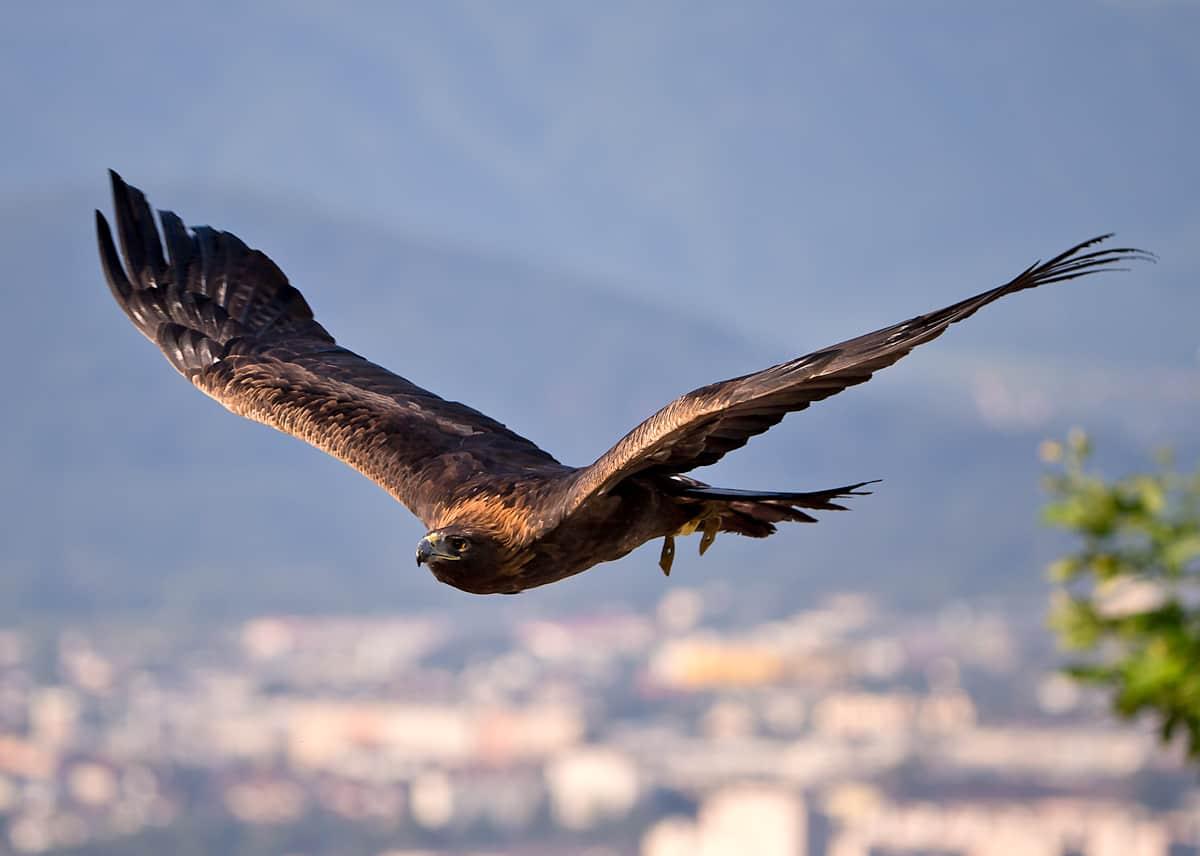Seit nunmehr 35 Jahren ziehen Greifvögel rund um die Burg Landskron ihre Kreise. © Michael Rzepa