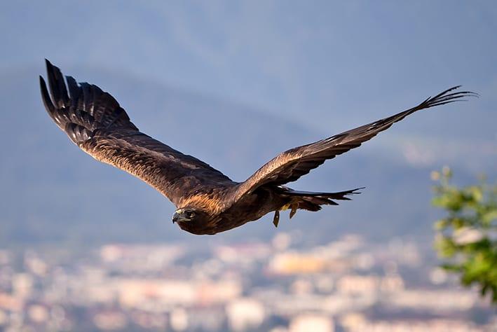 Universum Dolomites golden eagle © Michael Rzepa