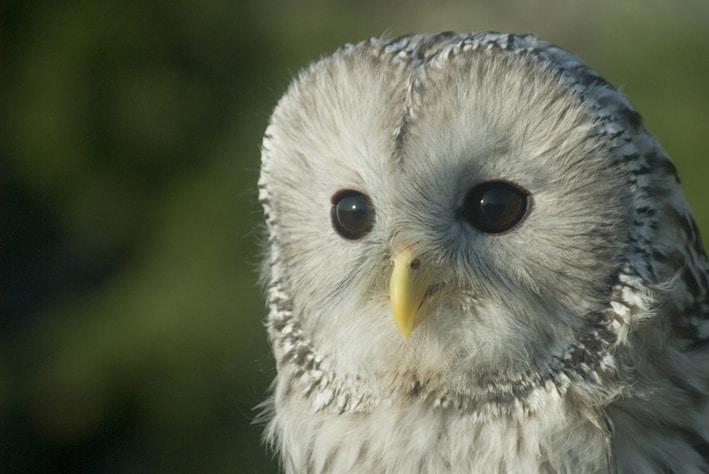 Ural owl © Jakob Zmoelnig