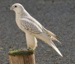 Greifvogel - Falke