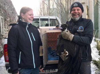 Im Rahmen des EEP  wird die junge Mönchsgeier-Dame - die aus eigener Zucht stammt - von Linda direkt in den Zoo Rhenen ( NL) gebracht.