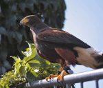 Greifvögel - Wüstenbussard Harris Hawk
