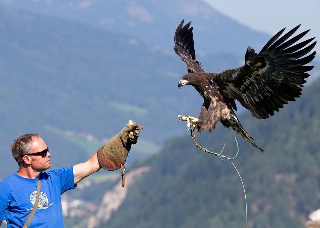 Falknerei - Falkner mit Seeadler in Österreich