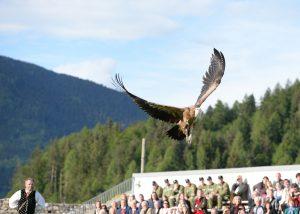 Gänsegeier bei Greifvogelflugschau - Impressionen Adlerarena Landskron Österreich