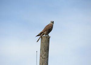 Falke bei Greifvogelschau in Adlerwarte Landskron - Österreich